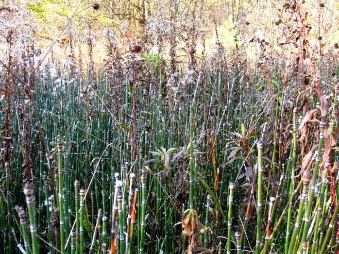 equisetum, milkweed, goldenrod - Jackson Trail (TAM)