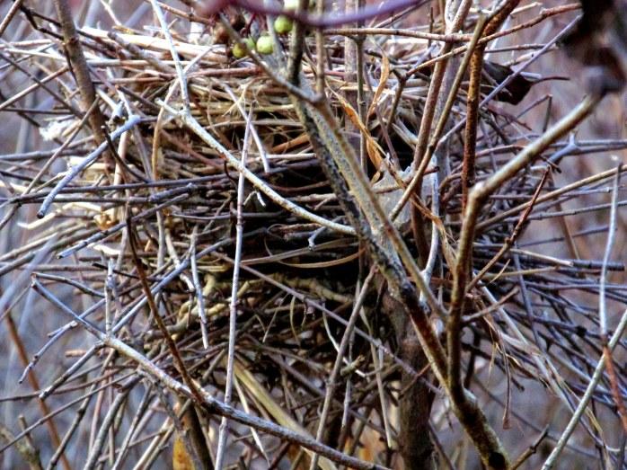 bird nest, Murdock Preserve, Middlebury VT - 1 Nov