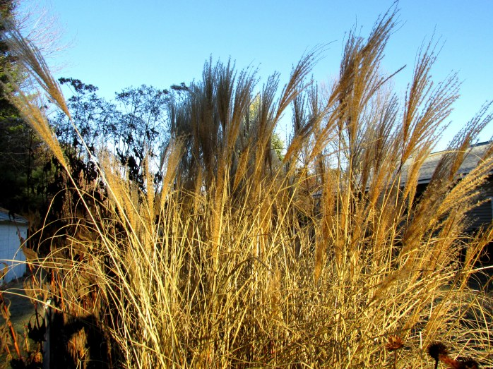 miscanthus grass plumes, backyard, NH -18 Nov