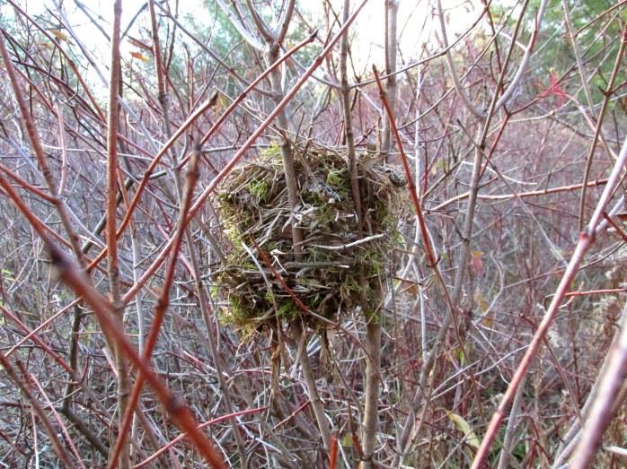 mossy bird nest, Murdock Preserve (TAM)