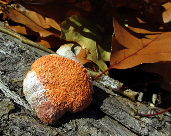 fungus and oak leaf, Clark Lookout Trail, NH - 9 Nov
