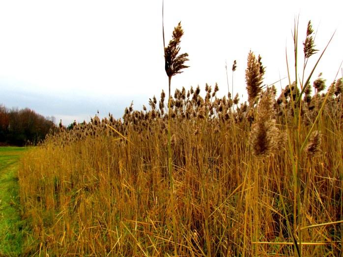 grasses, Jackson Trail (TAM)
