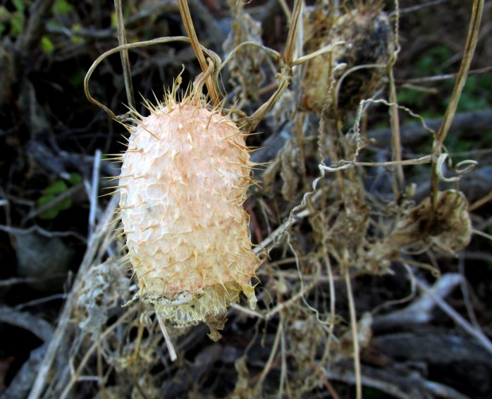 prickly seed head of wild cucumber (Echinocystis lobata), island in Ottauquechee River, Quechee, VT - 2 Nov