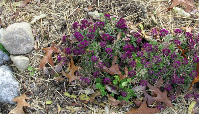 purple alyssum still blooming