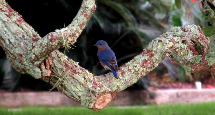 bluebird in historic district