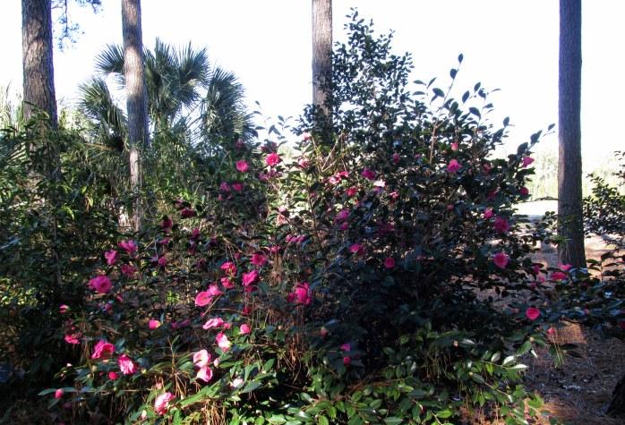 Camellia hybrid 'Christmas Rose'