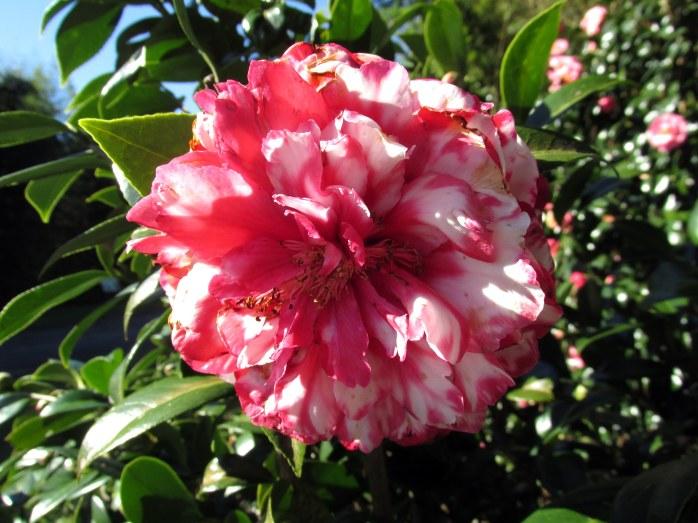 C. japonica 'Bobbie Fain Variegated'
