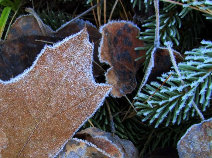oakaspenleavessprucefrost6Dec2015