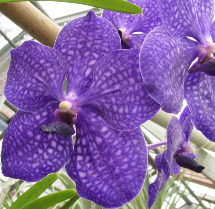purpleorchidsCGBGSavannah19Dec2015