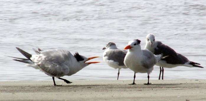 royal tern with issues