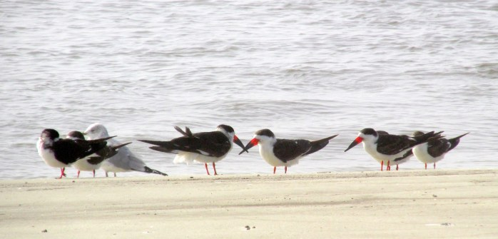 skimmers and gull on south end