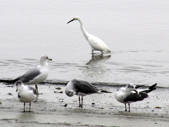 snowy egret and gulls, St. Andrews beach