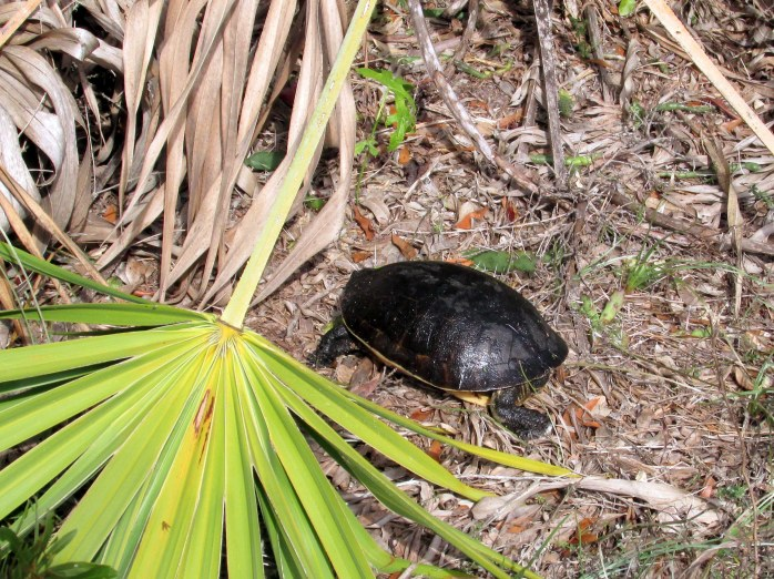 turtle deposited safely across road near South Dunes