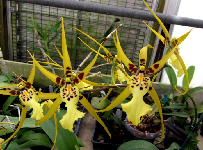 yellowburgundyspeckledspiderorchidsCGBGSavannah19Dec2015