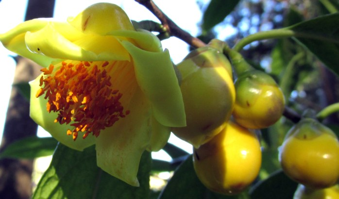 Yellow Camellia flower and buds