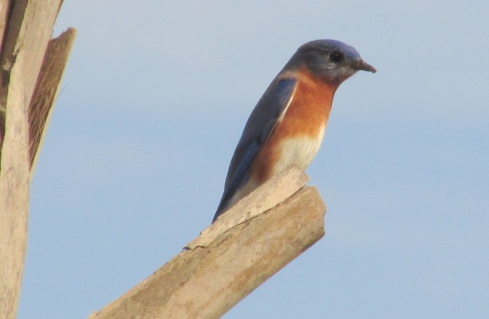 bluebird at Holiday Inn