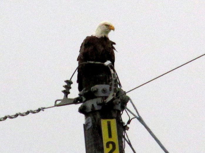 eagle on pole along causeay