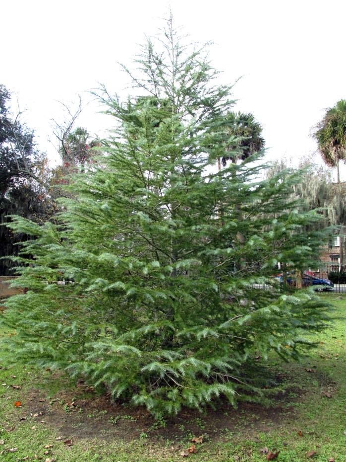 evergreenChristmastreeColonialParkCemeterySavannah18Dec2015