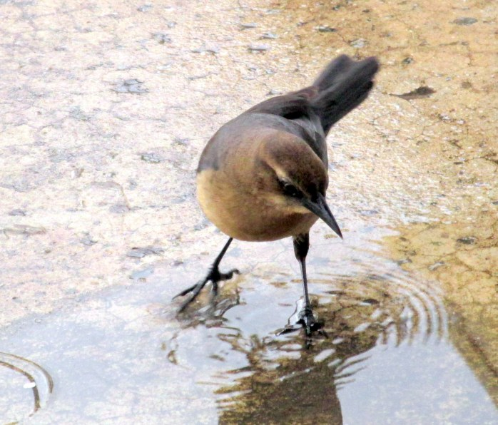 female grackle in puddle, SSI pier