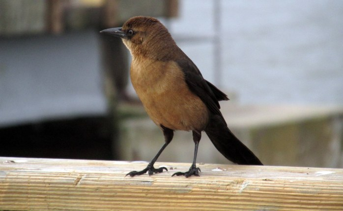 female grackle on SSI pier