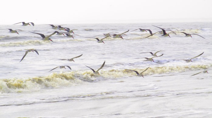 flock of skimmers in flight in light