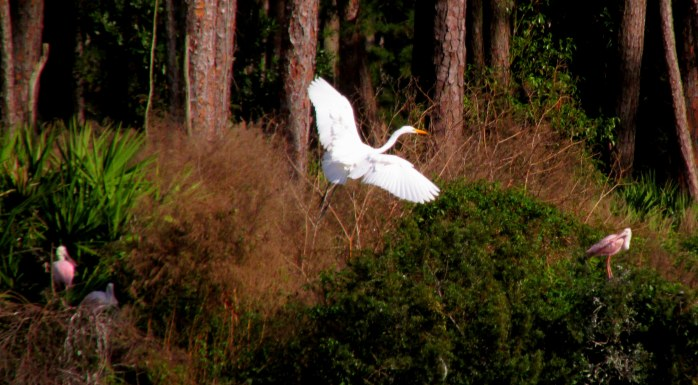 great egret flying in to rookery