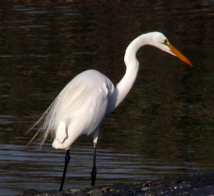 great egret hunting at St. Andrews
