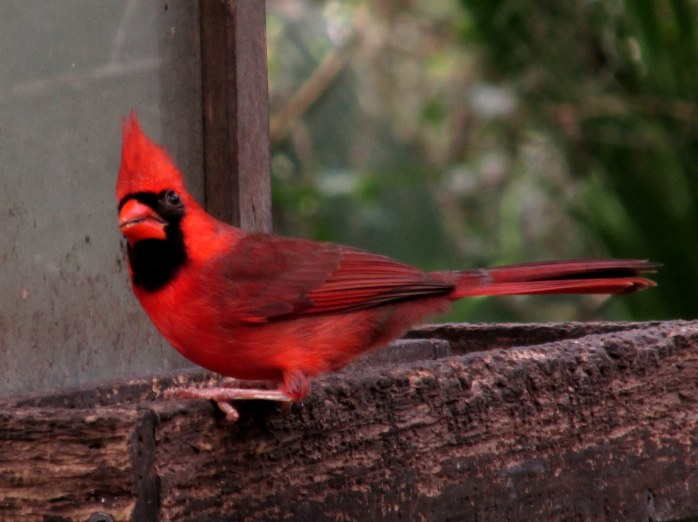 male cardinal in campground feeding area -- but there were many cardinal couples all over the island.