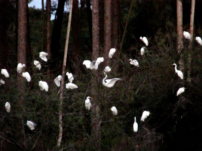 so many white birds, in rookery