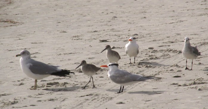 willets, royal terns, laughing gull, ring-billed gull