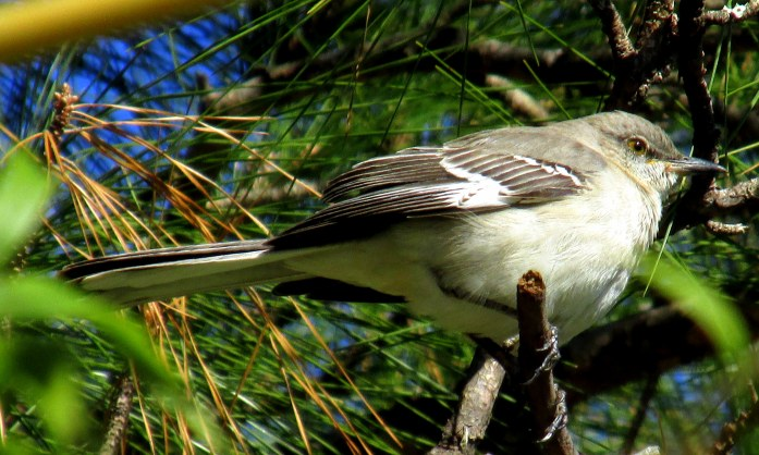 mockingbird, at Coastal Georgia Botanical Gardens in Savannah, but common on Jekyll as well.