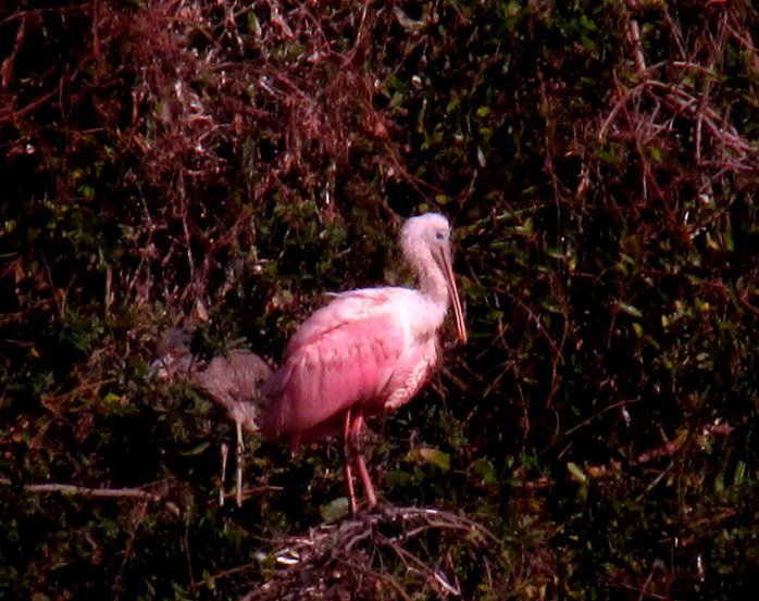 roseate spoonbill and night heron friend in rookery