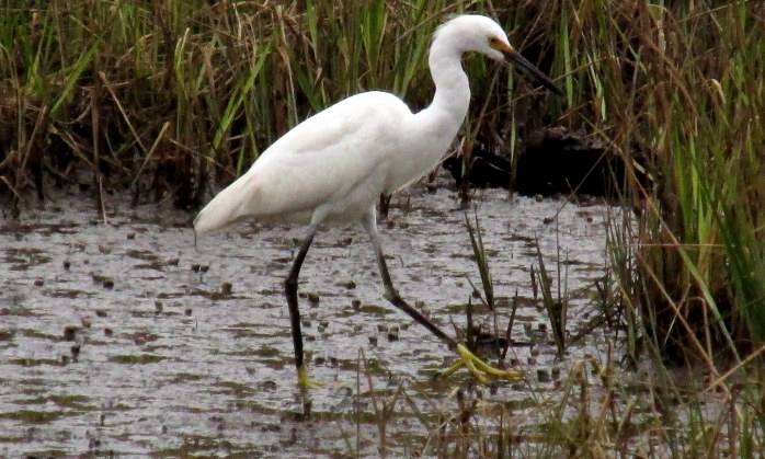 snowy egret hunting in an inland marsh off a bike path near South Riverview Rd