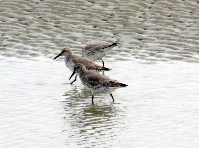 three red knots