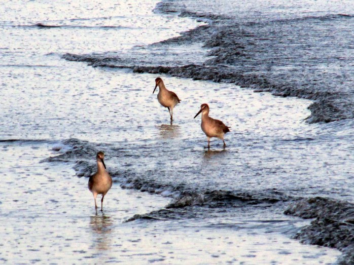 three willets, south beach