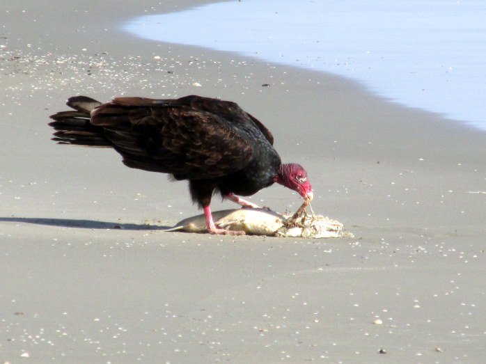 turkeyvultureeatingfishclosecmidbeachbJekyll30Dec2015