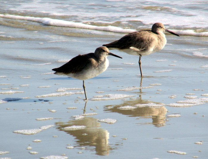 two willets on one leg, with reflections, mid-beach
