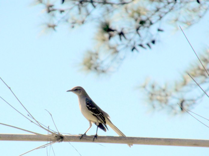 washed out mockingbird at Coastal Georgia Botanical Gardens, Savannah