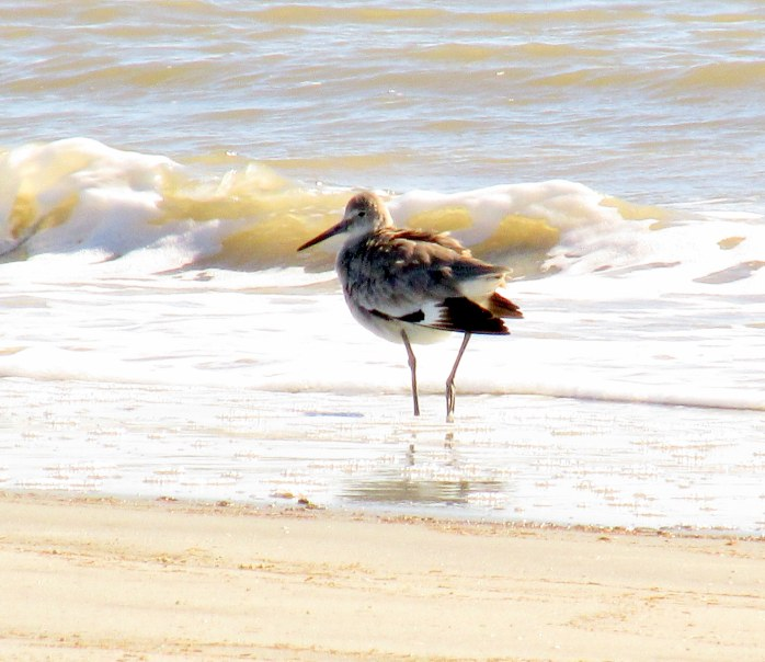 willet, south beach