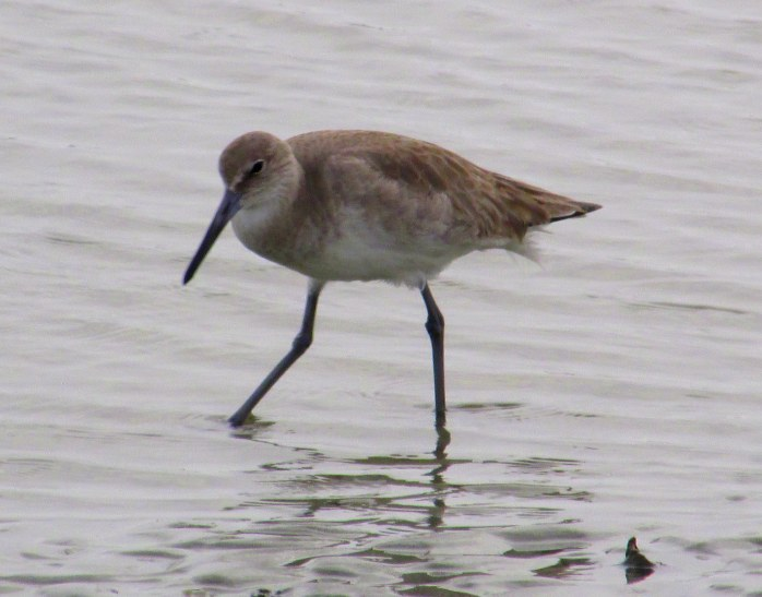 willet, mid-beach