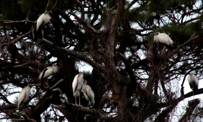 woodstorks in trees