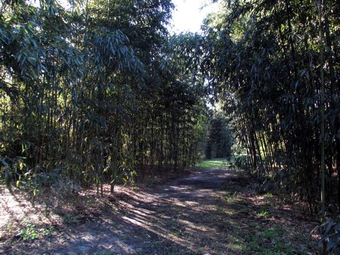 bamboopathCGBGSavannah19Dec2015