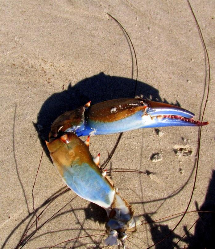 blue crab claw