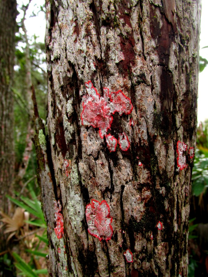 Cryptothecia rubrocincta (Christmas Wreath) lichen on Rusty Staggerbush (Lyonia ferruginea)