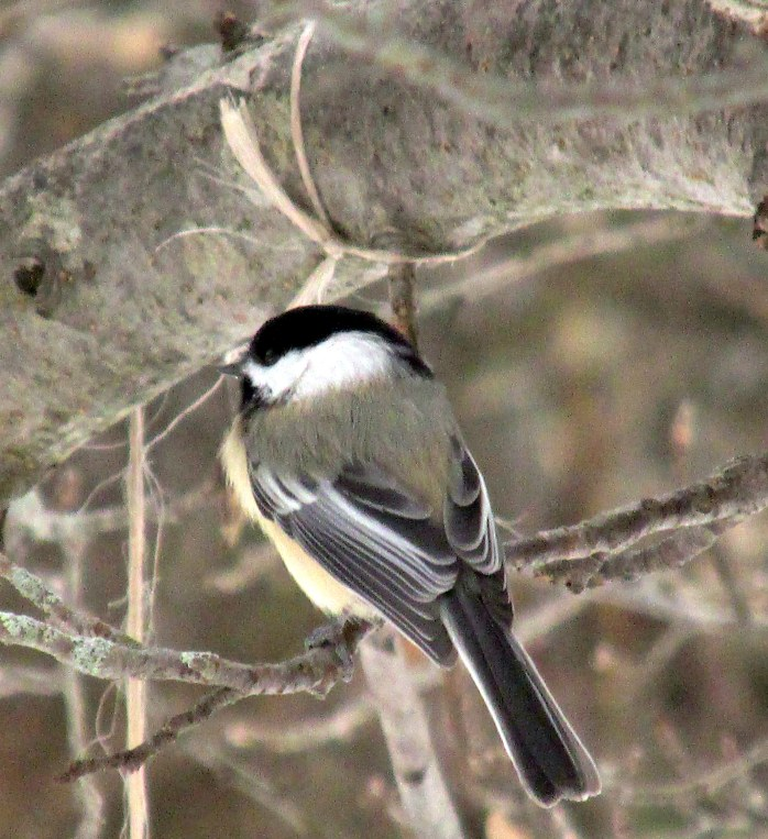 chickadee, 15 Jan