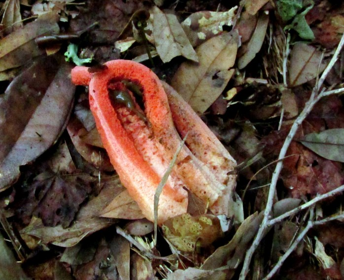 Column stinkhorn (Clathrus columnatus) with brown slime