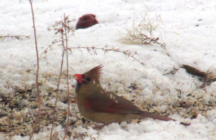 female cardinal, 29 Jan