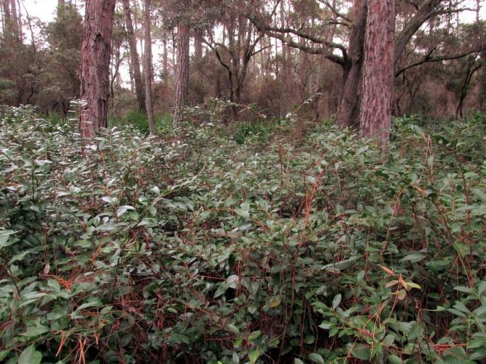 Fetterbush (Lyonia lucida)