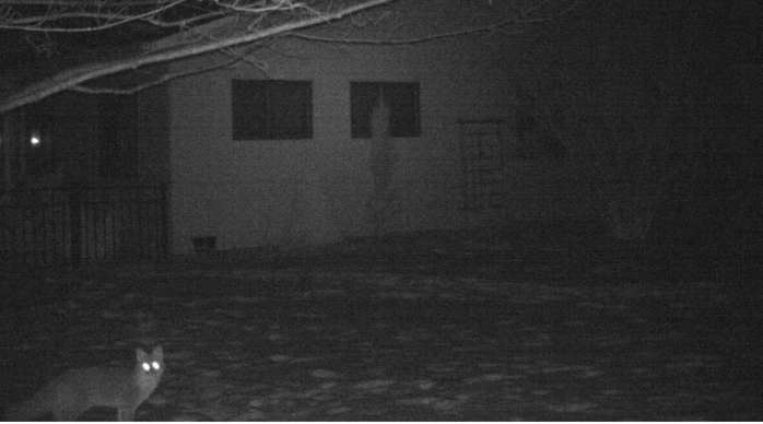 fox on motion camera, 1 Feb