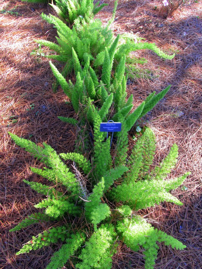 foxtail ferns